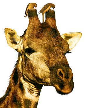 Фото №1 - Зачем жирафу рожки?