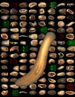 Фото №2 - Аргонавты заглушат скверные гены