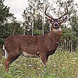 Фото №1 - Робот-олень поможет искоренить браконьеров