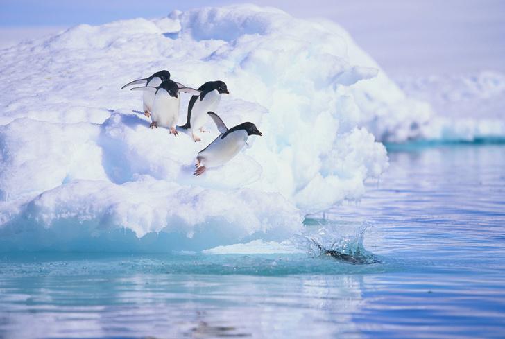 Фото №1 - Ученые поняли, что защищает перья пингвинов от обледенения