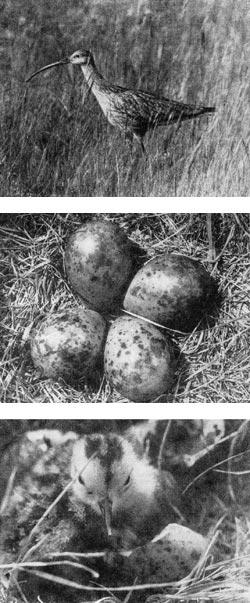 Фото №1 - Рождение кроншнепа