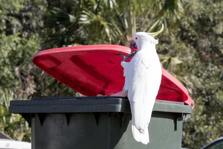 Фото №1 - Какаду в Австралии учатся друг у друга открывать мусорные баки