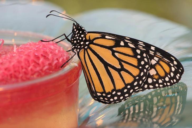 Фото №1 - Что убивает бабочек-монархов
