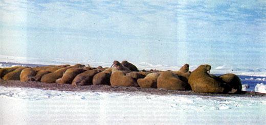 Фото №2 - Рядом с моржами