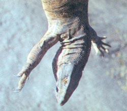 Фото №3 - Фасциатус, ястребиный орел