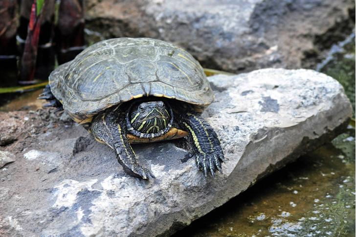 Фото №1 - Более половины всех видов черепах оказалось на грани вымирания