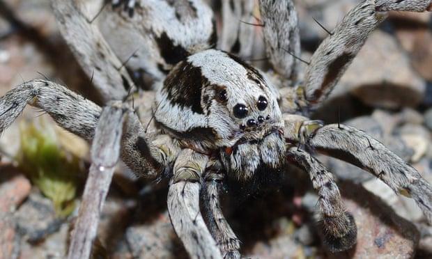 Фото №1 - Считавшийся вымершим паук вновь обнаружен в Великобритании