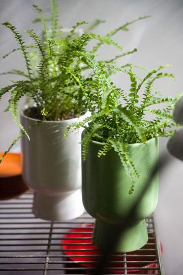 Фото №2 - Модное растение в доме: папоротник