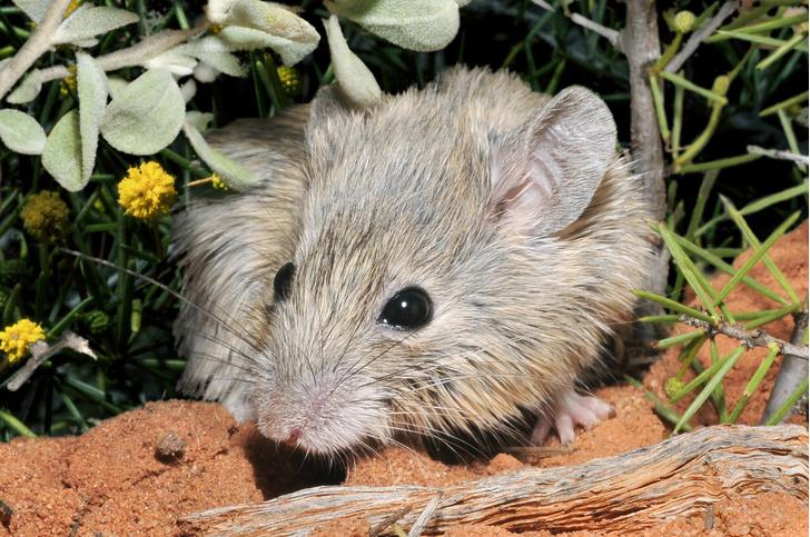 Фото №1 - В Австралии нашли животное, которое считалось вымершим 150 лет назад
