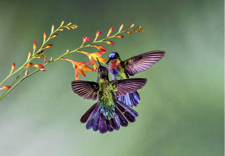 Фото №7 - Маленькая жизнь: как колибри стали настоящими супергероями