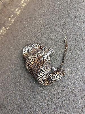 Фото №2 - Потерянный женский халат спровоцировал слухи о том, что из зоопарка сбежал леопард (фото)