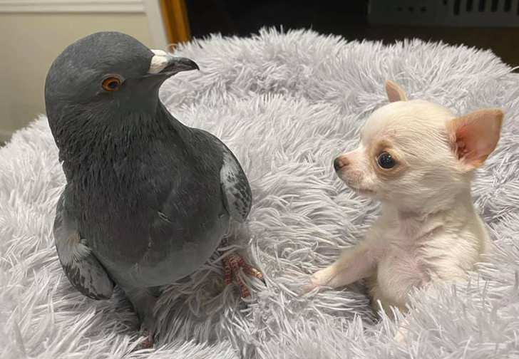 Фото №1 - В Нью-Йорке голубь Герман подружился с больным чихуахуа, и эти кадры выглядят как валентинка (фото и видео)