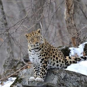 Фото №1 - У редкого леопарда появилось имя