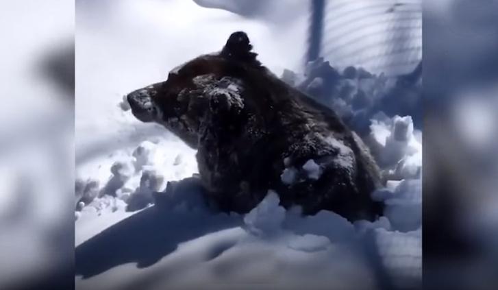 Фото №1 - На видео попал момент, как медведь выходит из берлоги после зимней спячки