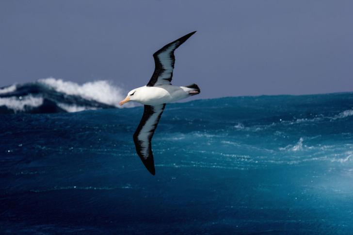 Фото №1 - Найдено объяснение цвета крыльев альбатроса
