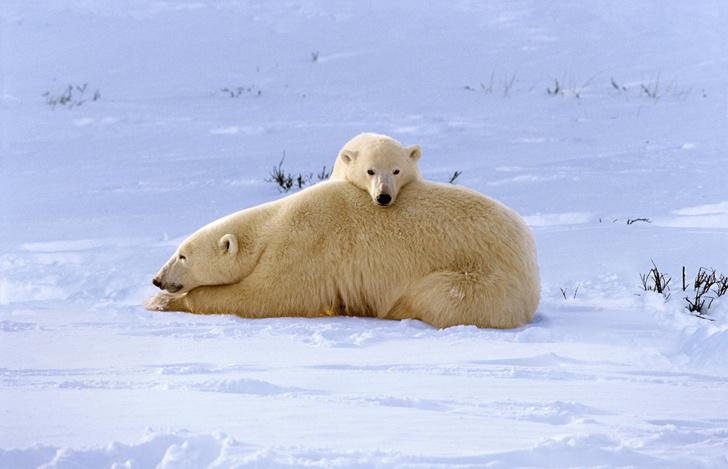 Фото №1 - Найдена процветающая популяция белых медведей