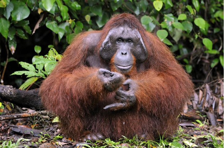 Фото №1 - Ученые рассказали о необычных способностях орангутанов