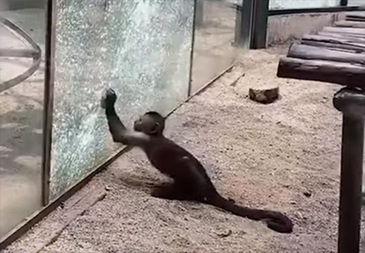 Фото №1 - В китайском зоопарке обезьяна заточила камень и разбила им стекло вольера (видео)