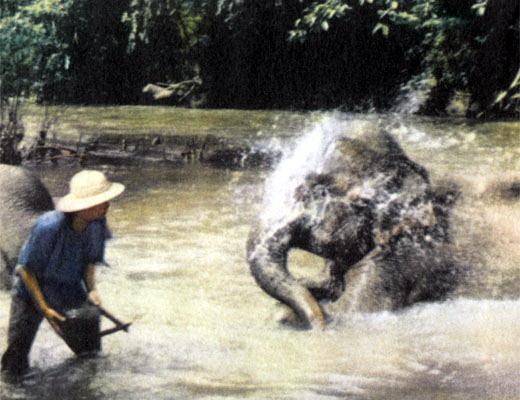 Фото №1 - Когда плачут слоны