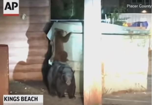 Фото №1 - В Калифорнии медведи устроили настоящую спасательную операцию, чтобы достать упавшего в мусорный бак собрата (видео)