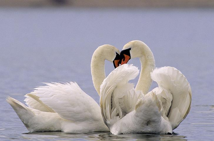 Фото №4 - Животные страсти: превратности любви в животном мире
