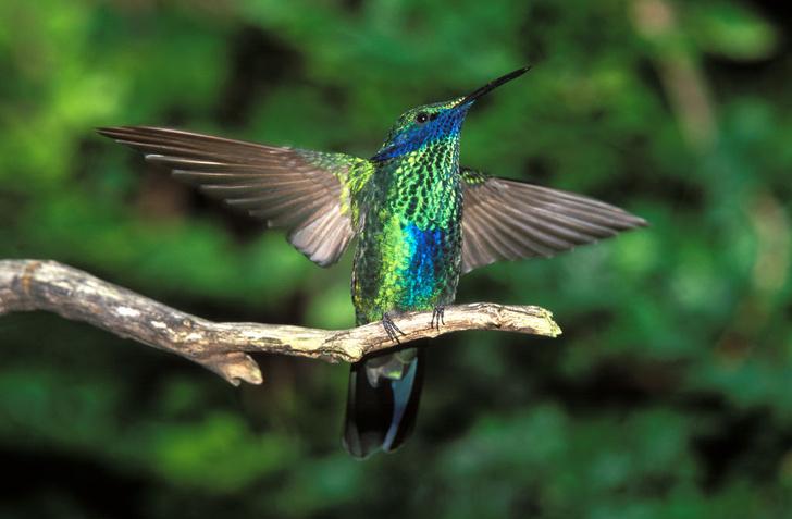 Фото №1 - Легко ли живут колибри?