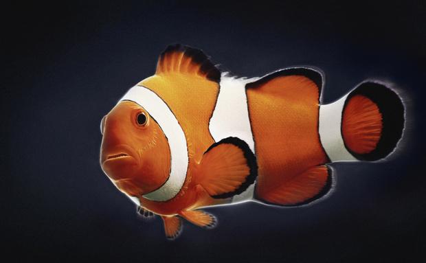 У боции клоун оранжево-черно-белая расцветка