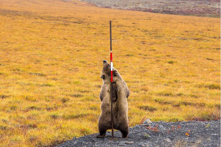 Фото №1 - Трутся об ось медведи…