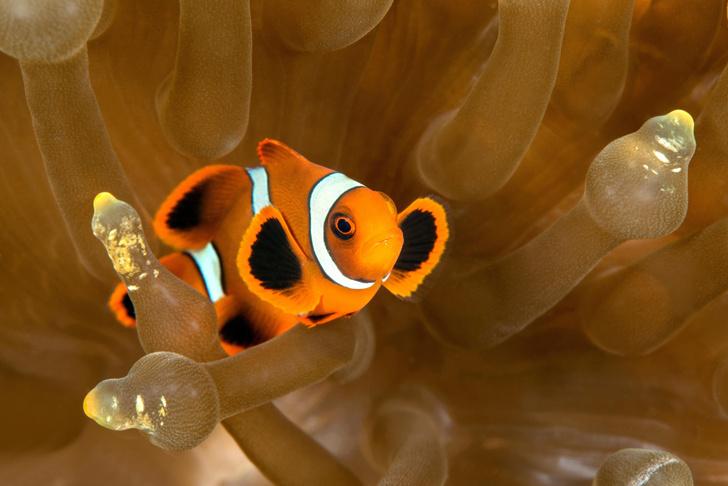 Фото №1 - Рыбы-клоуны оказались не способны адаптироваться к изменению климата