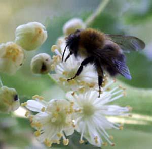 Фото №1 - В Орловской области выведена новая пчела