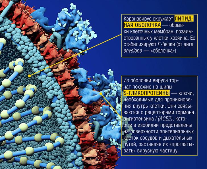 Фото №2 - Инфографика: слабые места коронавируса