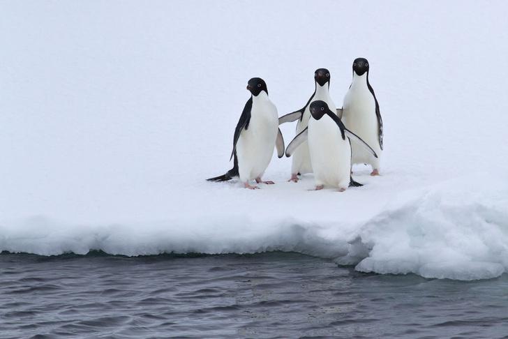 Фото №1 - К концу века число пингвинов уменьшится вдвое