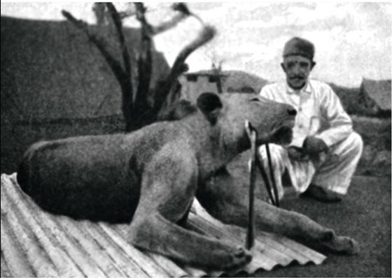 Фото №11 - Кровожадная история самого знаменитого в истории противостояния между человеком и львом