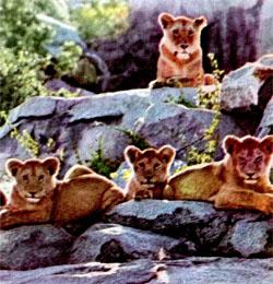 Фото №4 - Три года со львами