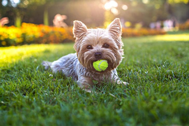 Фото №8 - Топ-15 самых популярных в России пород собак