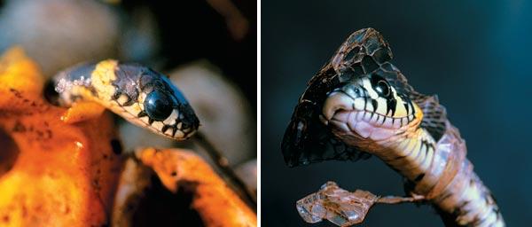 Фото №4 - Самый добрый змей