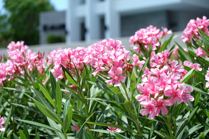 Фото №7 - 7 садовых растений опасных для домашних питомцев