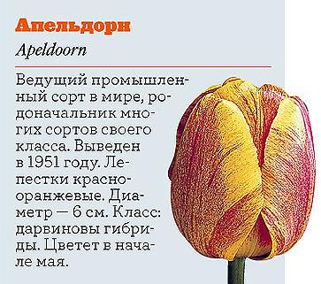 Фото №6 - Самые популярные сорта тюльпанов