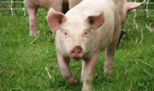 Фото №1 - В Ленинградской области - карантин по африканской чуме свиней
