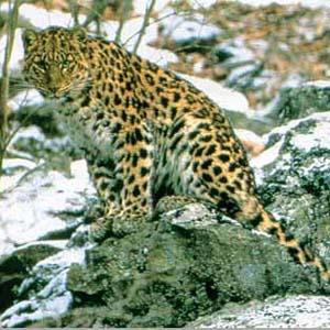 Фото №1 - На Дальнем Востоке убили самку леопарда