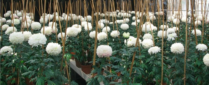 Фото №1 - Ученые нашли полезное применение хризантемам