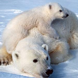 Фото №1 - Белые медведи вымирают как вид