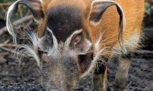 Фото №1 - Африканской чумы свиней в Москве нет