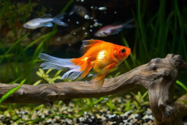 Фото №1 - Биологи призывают не выпускать в водоемы аквариумных золотых рыбок
