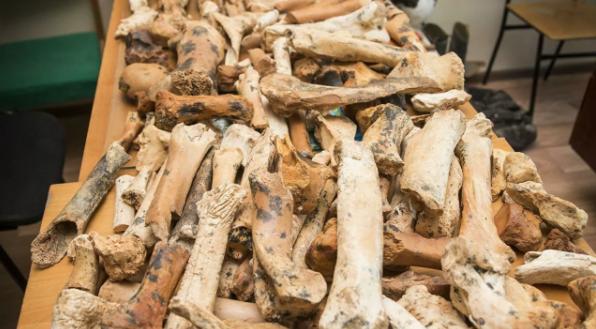 Фото №1 - В Крыму нашли останки древнего дикобраза