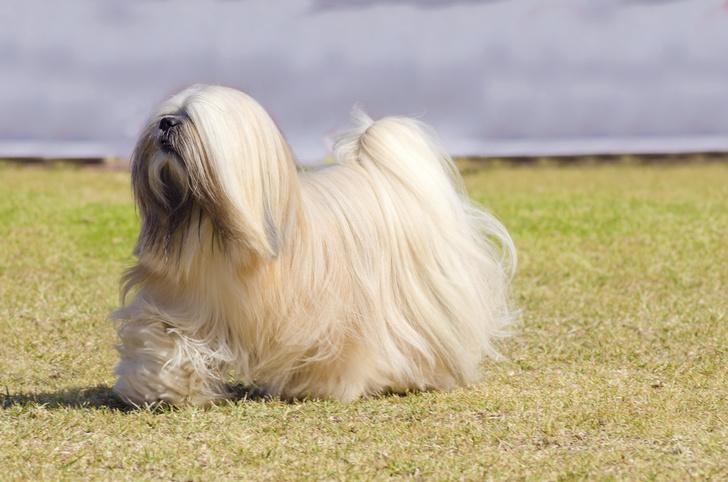 Фото №10 - 15 пород собак, которые не линяют