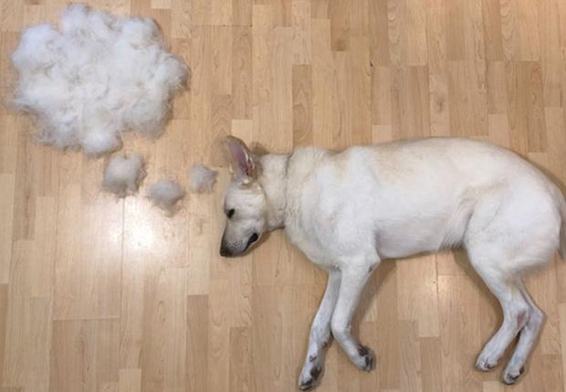 Фото №1 - Девушка создает забавные образы для своей собаки из ее собственной шерсти (много фото)