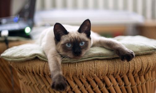 Фото №1 - Кот вместо психолога: врачи рассказали о лечебном эффекте мурлыканья