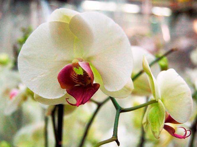 Фото №5 - 5 сортов самых красивых и неприхотливых орхидей