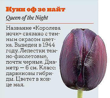 Фото №5 - Самые популярные сорта тюльпанов